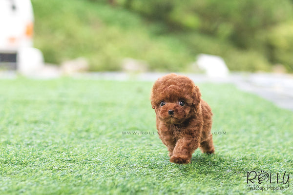 (SOLD to Hornbeck) Lola - Poodle. F