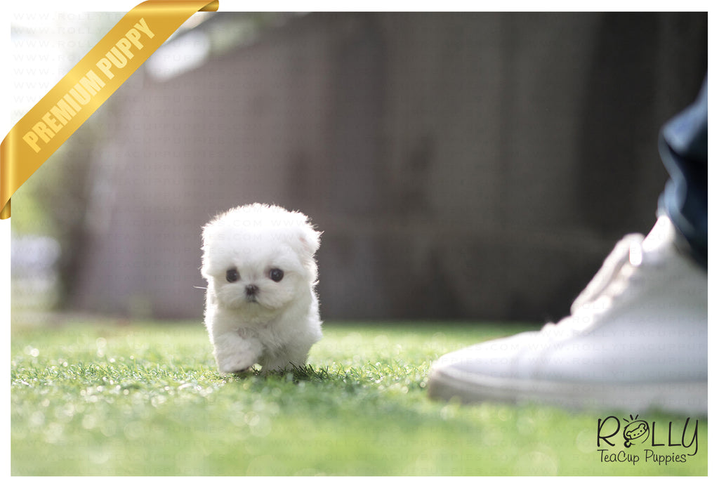 (SOLD to Megel) London - Maltese. F - Rolly Teacup Puppies