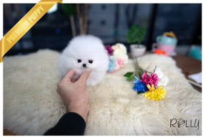 (Purchased by Mascolo) London - Pomeranian. F - Rolly Teacup Puppies - Rolly Pups