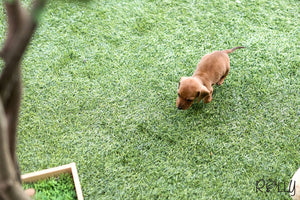 (Purchased by Martinez) Louie - Dachshund. M - ROLLY PUPS INC