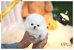 (Purchased by Thao) Louis - Pomeranian. M - Rolly Teacup Puppies