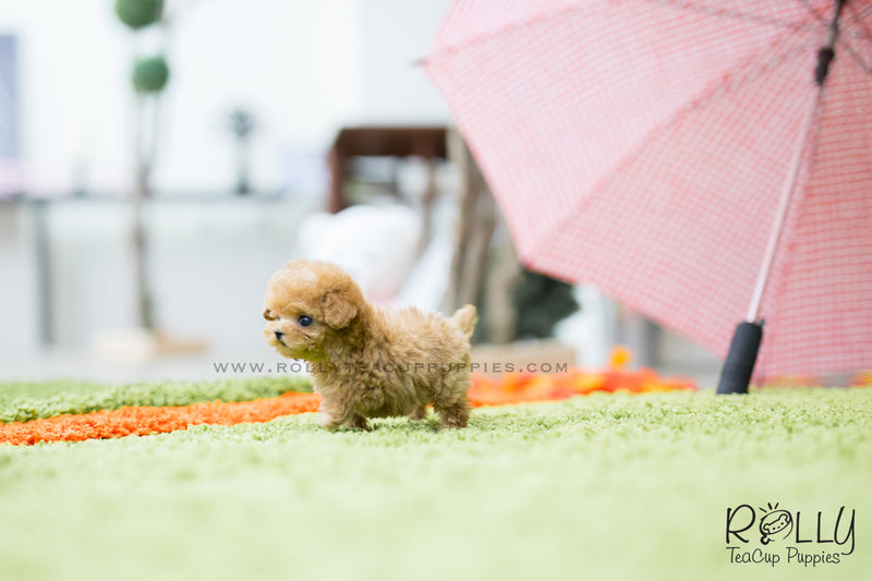 (SOLD to Ahamd) Louis - Poodle. M - Rolly Teacup Puppies - Rolly Pups