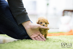(SOLD to Ahamd) Louis - Poodle. M - Rolly Teacup Puppies