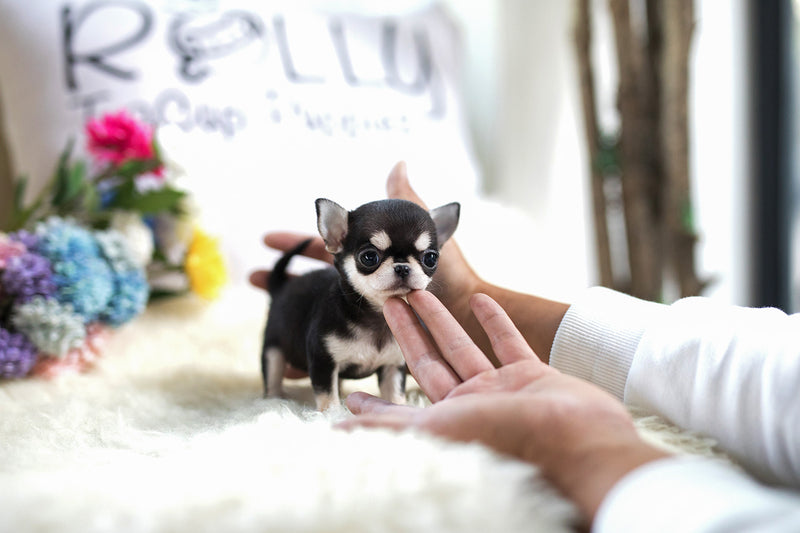 (Purchased by Lim) Lucky - Chihuahua. F - ROLLY PUPS INC