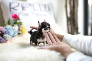 (Purchased by Lim) Lucky - Chihuahua. F - Rolly Teacup Puppies