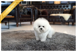 (Reserved by Tan) Lucy - Bichon. F - Rolly Teacup Puppies