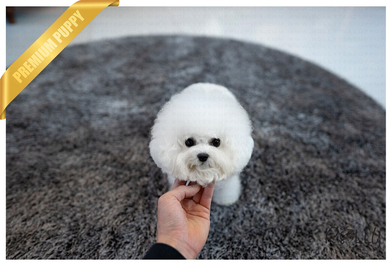 (PURCHASED by Tan) Lucy - Bichon. F - Rolly Teacup Puppies