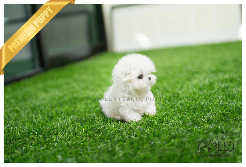 (SOLD to Palmere ) Lucy - Maltese. F - Rolly Teacup Puppies