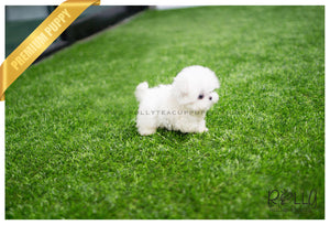 (SOLD to Palmere ) Lucy - Maltese. F - ROLLY PUPS INC