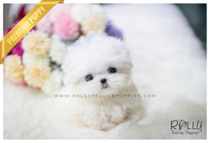 (SOLD to Palmere ) Lucy - Maltese. F - Rolly Teacup Puppies - Rolly Pups