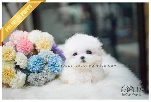 (SOLD to Palmere ) Lucy - Maltese. F