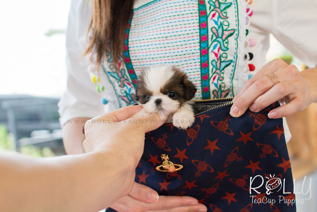Lucy - Shih Tzu - Rolly Teacup Puppies - Rolly Pups