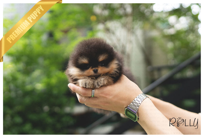 (Purchased by Eric) LUKE - Pomeranian. M - Rolly Teacup Puppies