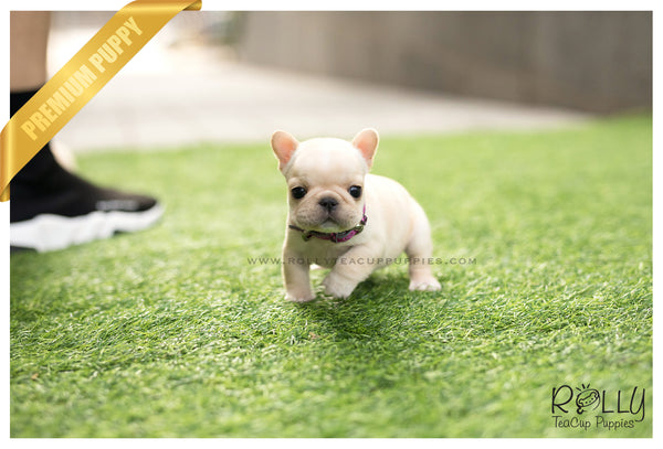 (SOLD to Secret) Lulu - French. F - Rolly Teacup Puppies