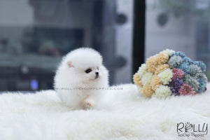 (SOLD to Baumgardner) Lulu - Pomeranian. F - Rolly Teacup Puppies - Rolly Pups