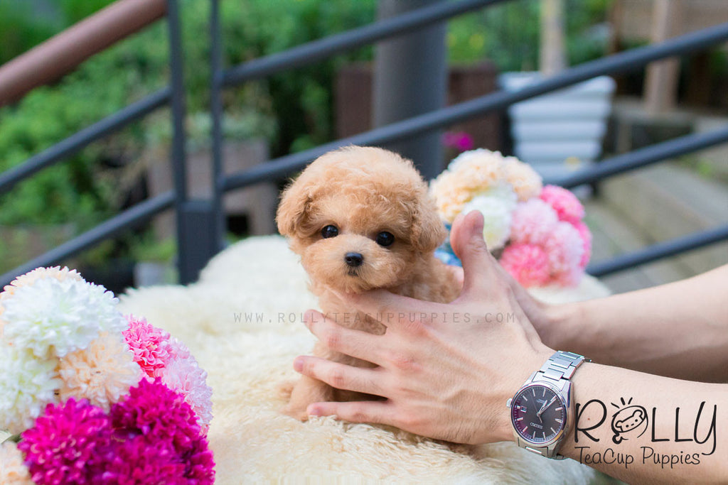 Lulu - Poodle - Rolly Teacup Puppies