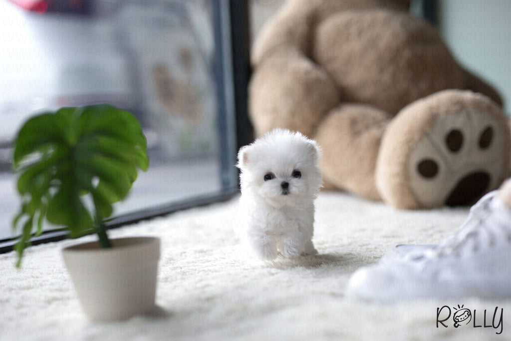 (Purchased by Sam) Luna - Maltese. F - Rolly Teacup Puppies - Rolly Pups