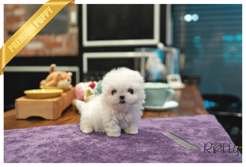 (RESERVED by Almeida) LUNA - Maltese. F - Rolly Teacup Puppies - Rolly Pups