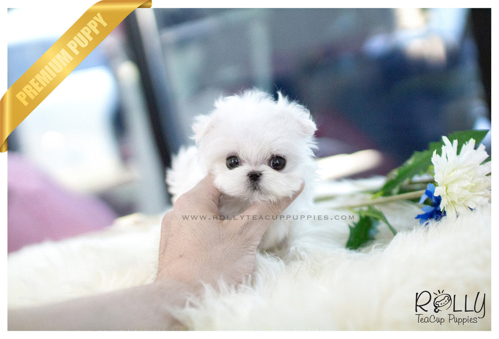 (SOLD to Toal) Luna - Maltese. F - Rolly Teacup Puppies