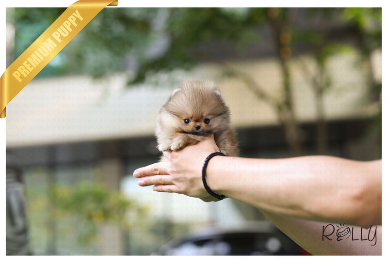 (Purchased by Omar) Luna - Pomeranian. F - Rolly Teacup Puppies