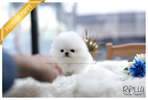 (SOLD to Lee) Luna - Pomeranian. F