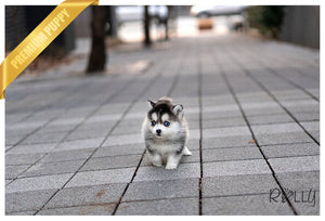 (Purchased by Paez) Luna - Pomsky. F - Rolly Teacup Puppies