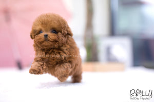 (SOLD to Katz) Luna - Poodle. F - Rolly Teacup Puppies - Rolly Pups