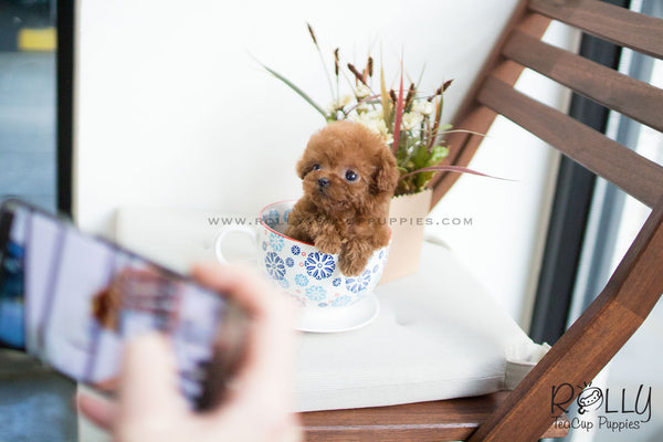 (SOLD to Santoy) Luna - Poodle. F - Rolly Teacup Puppies