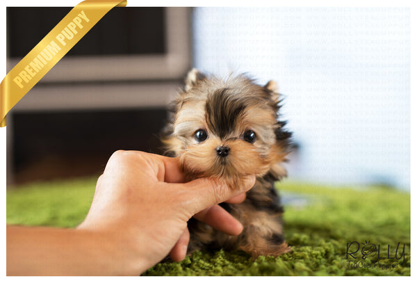 (Purchased by Bloom) Luna - Yorkie. F - Rolly Teacup Puppies