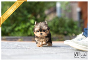 (Purchased by Bloom) Luna - Yorkie. F - ROLLY PUPS INC