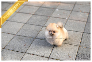 (SOLD to Roth) Lux - Pomeranian. F - Rolly Teacup Puppies