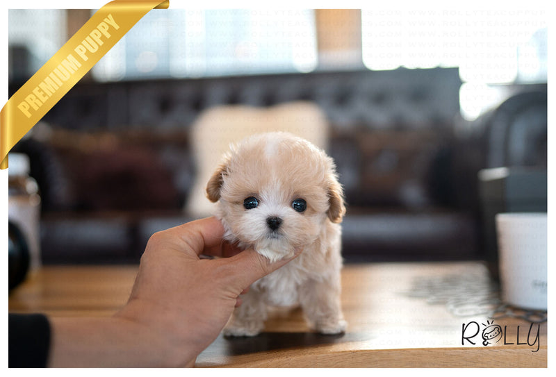 MIA - Maltipoo. F - ROLLY PUPS INC