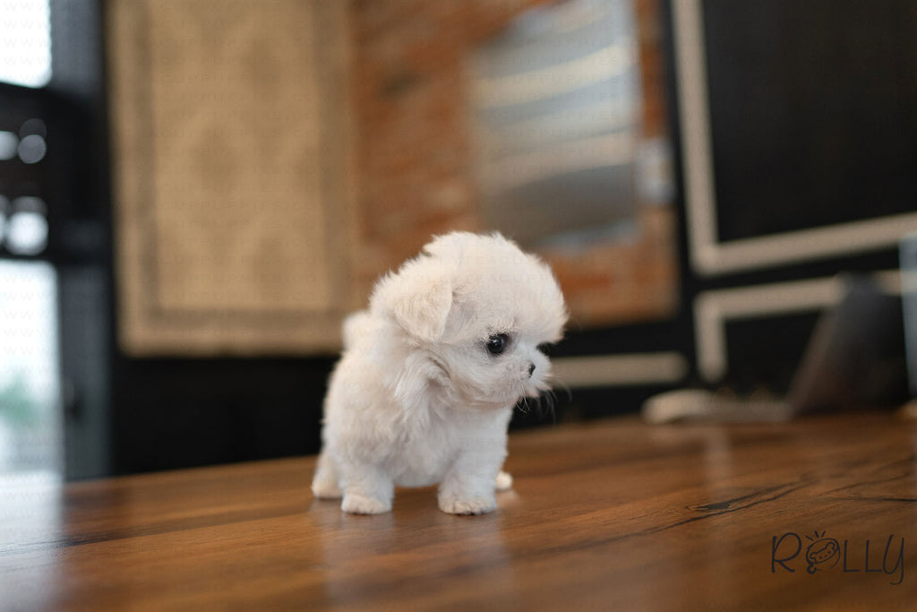MICKEY - Maltese. M - ROLLY PUPS INC