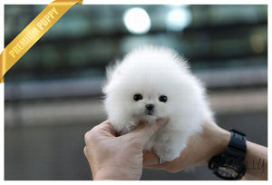 (Purchased by Enrique) Milkshake - Pomeranian. M - ROLLY PUPS INC