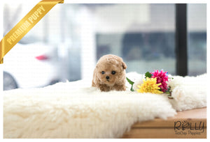 (Purchased by Zaragoza) Mistletoe - Poodle. F - Rolly Teacup Puppies