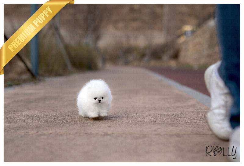 (Purchased by Castro) Mr. Bubble - Pomeranian. M - Rolly Teacup Puppies