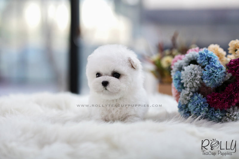 (SOLD to Lynn) Bell - Bichon. M - Rolly Teacup Puppies