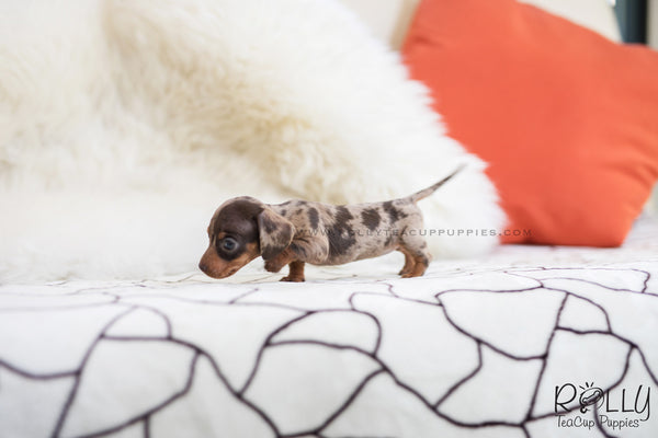 (SOLD to Bilbao) Maggie - Dachshund. F