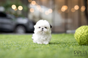 (SOLD to Nicole) Maggie - Shih Tzu. F - Rolly Teacup Puppies - Rolly Pups