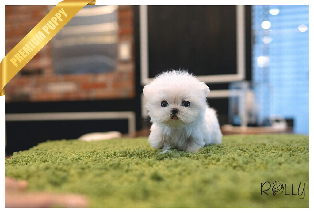 (PURCHASED by Hartman) TEENY - Maltese. F - Rolly Teacup Puppies - Rolly Pups