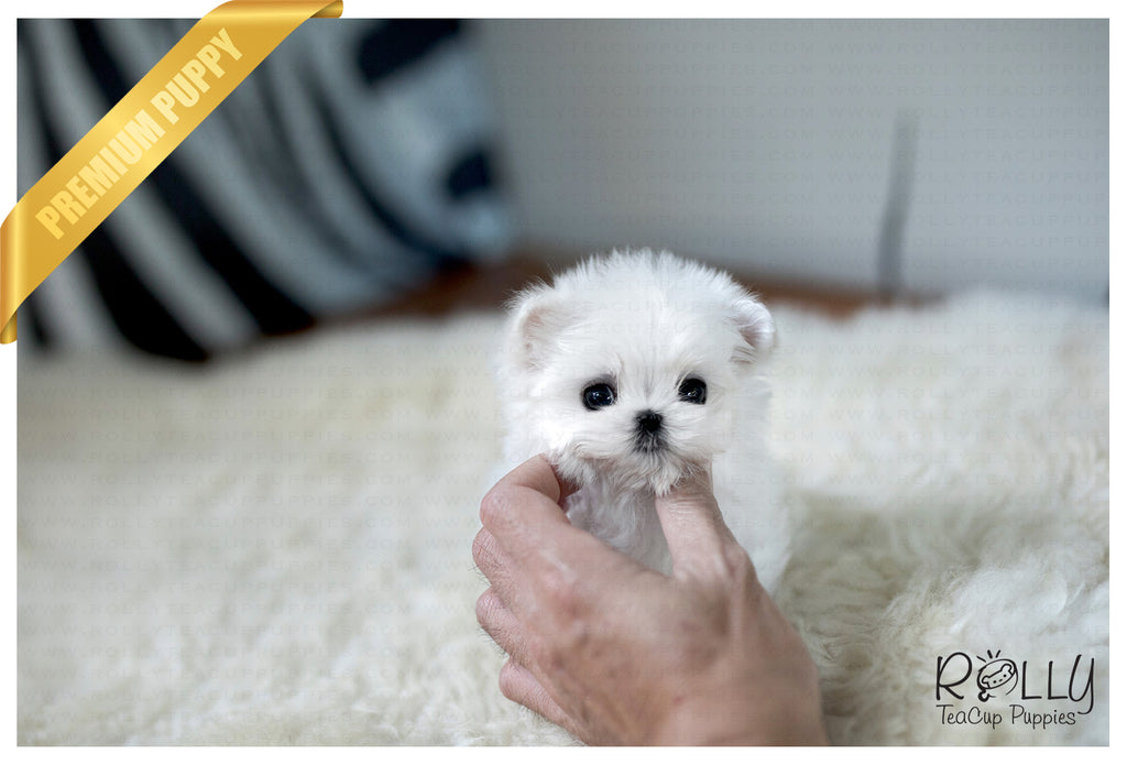 (Purchased by Pitts) Peter Pan - Maltese. M - Rolly Teacup Puppies - Rolly Pups