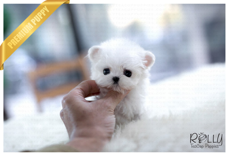 (Purchased by Pitts) Peter Pan - Maltese. M - Rolly Teacup Puppies