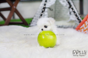 Bella - Maltese - Rolly Teacup Puppies