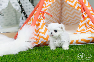 Bella - Maltese - Rolly Teacup Puppies - Rolly Pups