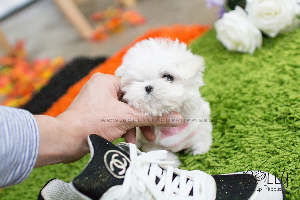 For Sale Star Teacup Maltese Female – Dibujos Para Colorear