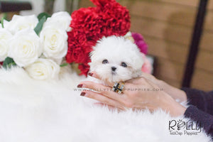 Lizzie - Maltese. F - Rolly Teacup Puppies
