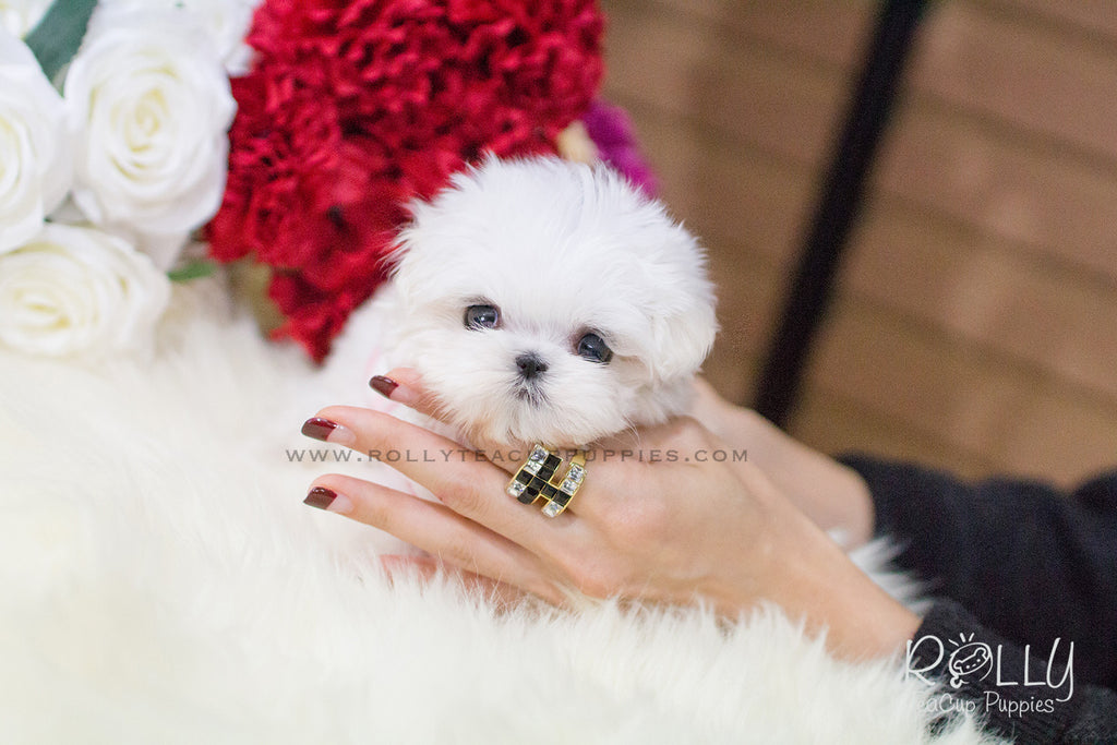 maltese puppies near me lizzie maltese f rolly teacup puppies 3256