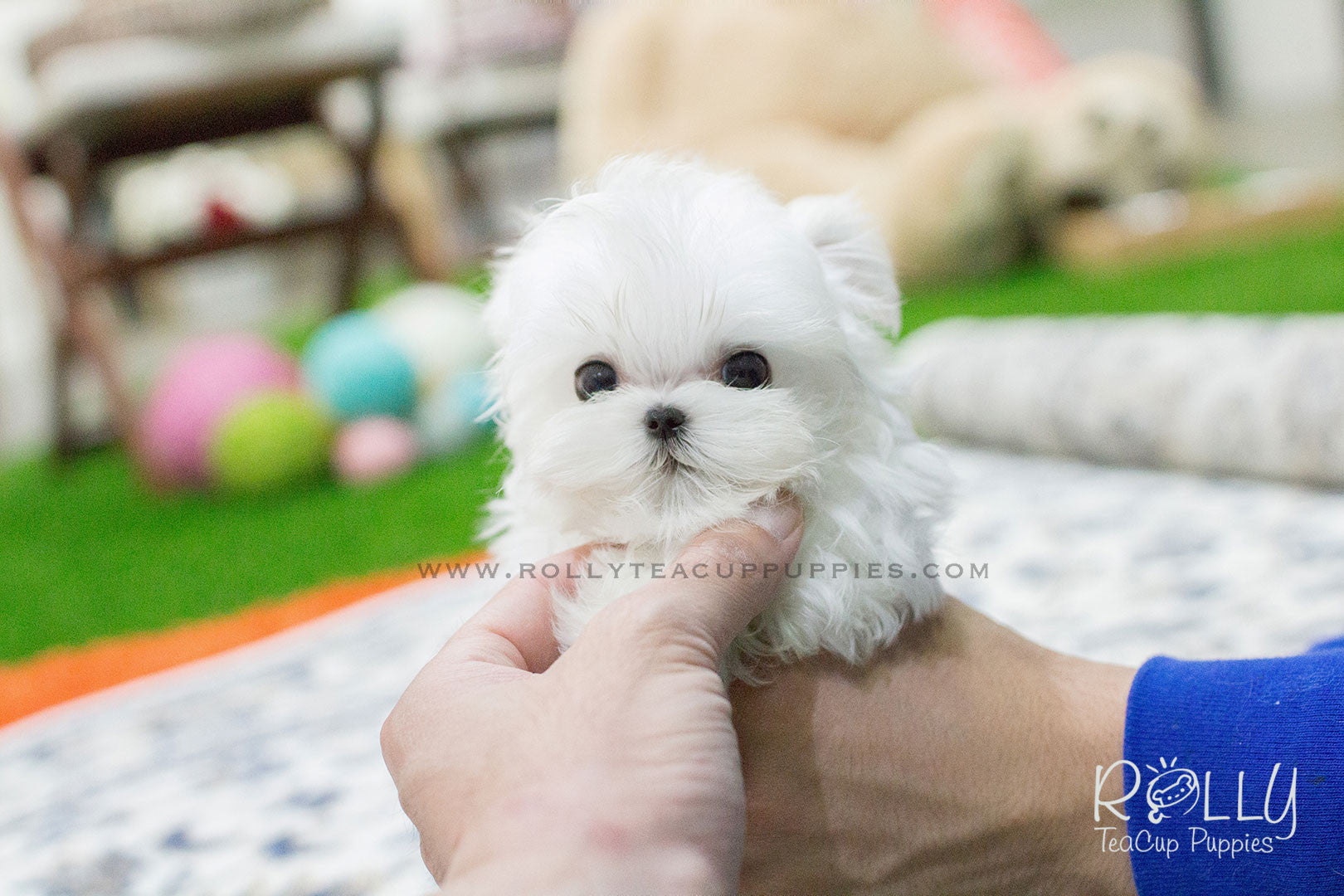 maltese puppies near me bailey maltese rolly teacup puppies 9487