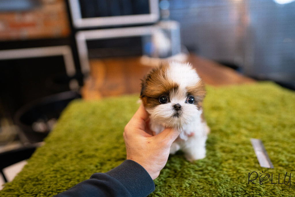 (Purchased by Tomlinson) Mango - Shih Tzu. F - ROLLY PUPS INC
