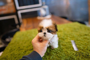 (Reserved by Tomlinson)Mango - Shih Tzu. F - Rolly Teacup Puppies
